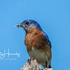 Bluebird male 1