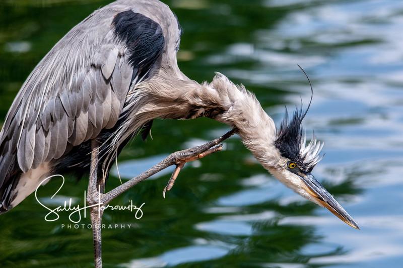 Great blue heron 13