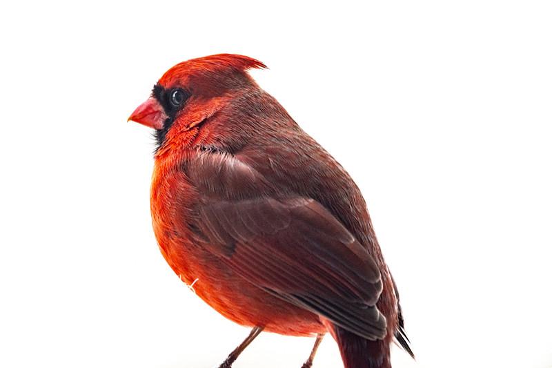 Northern Cardinal male 10