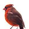 Northern Cardinal male 10