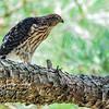 Cooper's Hawk fledgling 1