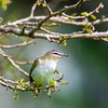 Red eyed Vireo 2