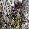 Great horned owlet 1