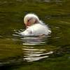 Pekin duckling 4