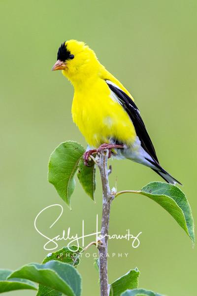 American goldfinch juvenile