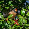 American robin 7