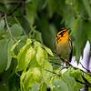 Blackburnian warbler 1