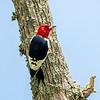 Redheaded woodpecker 6