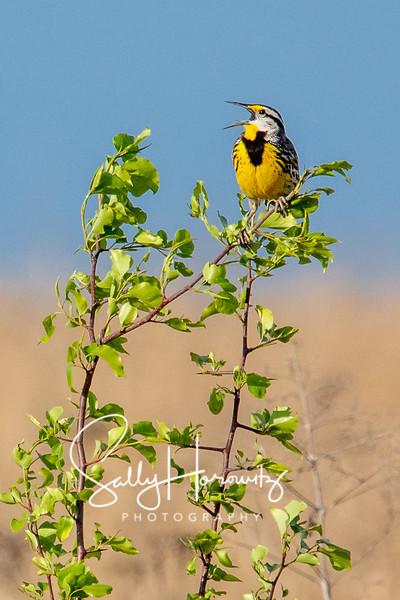 Eastern Meadowlark 7