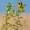 Eastern Meadowlark 7