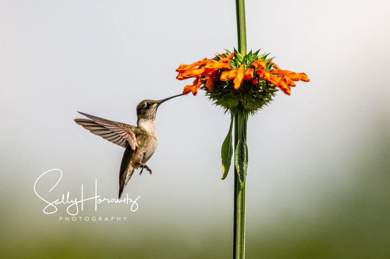 Ruby-throated Hummingbird 12
