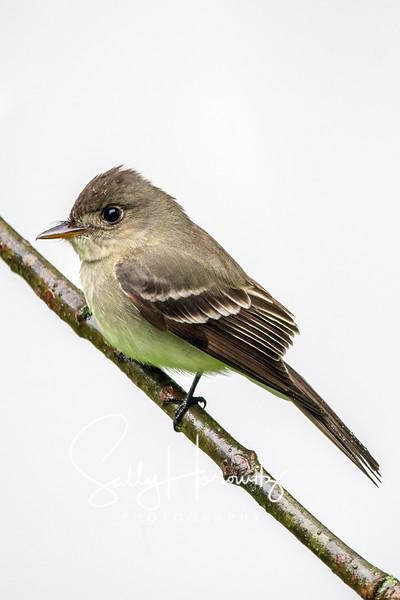 Willow flycatcher 1