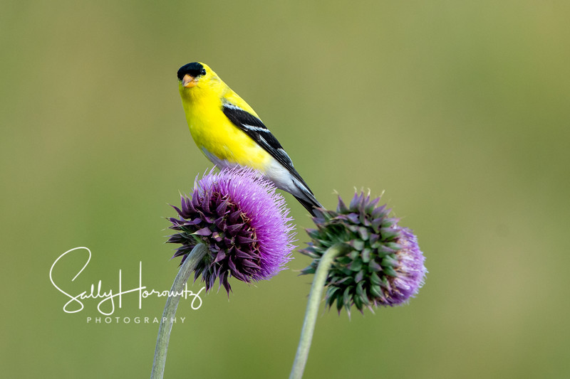 American goldfinch 5