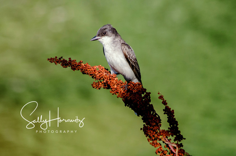 Eastern Kingbird 3