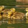 Goslings 4
