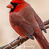 Northern Cardinal male 2
