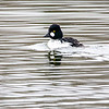 Common Goldeneye 3