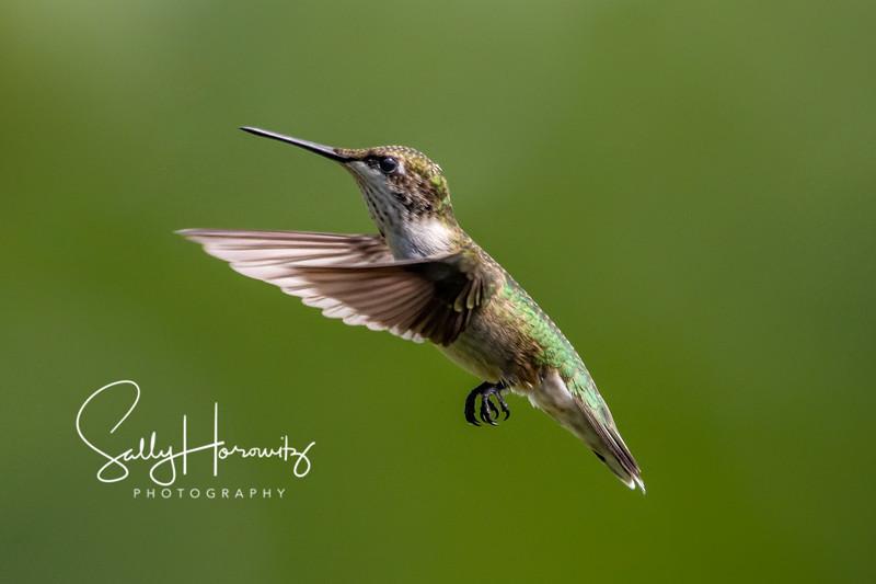 Ruby-throated Hummingbird 11