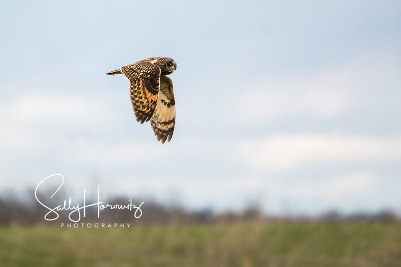 Short eared owl  4