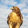 Red tailed hawk 9