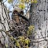 Great horned owlet 4