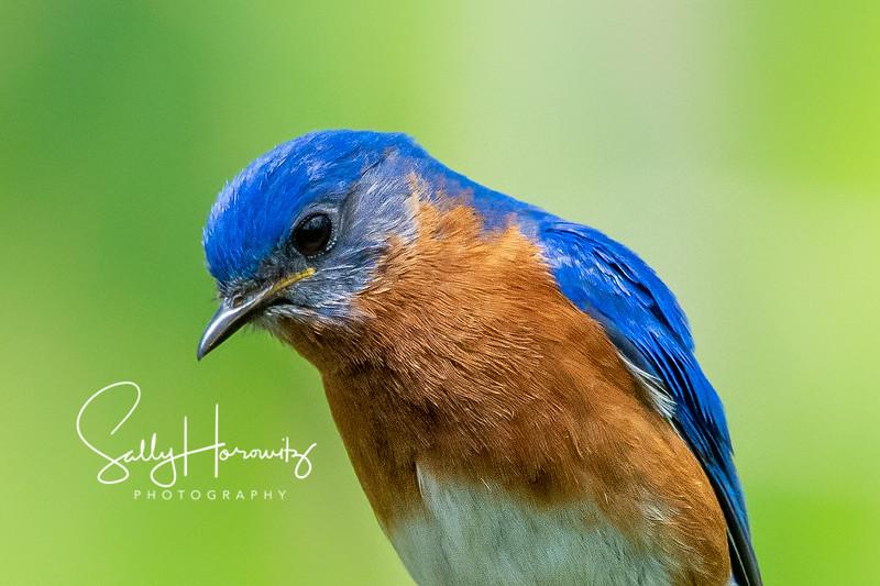 Bluebird male 8