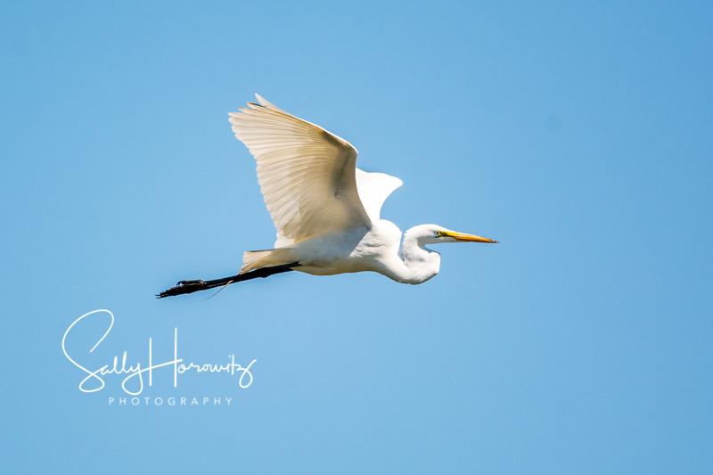 Great white egret 9