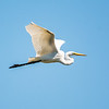 Great white egret 9