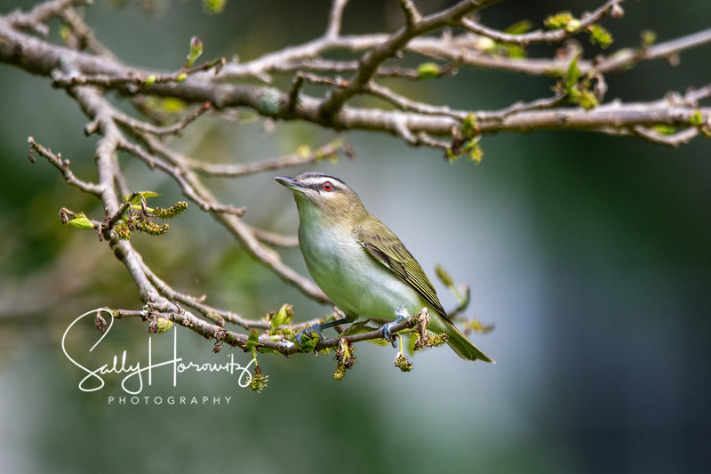 Red eyed Vireo 1