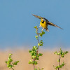 Eastern Meadowlark 5