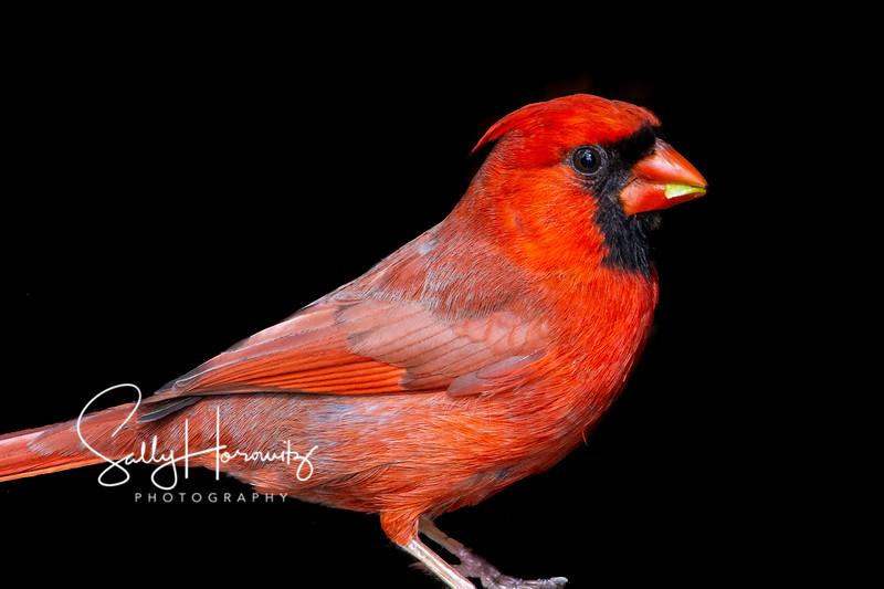 Northern Cardinal male 6