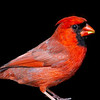 Northern Cardinal male 6