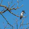 Belted kingfisher 2