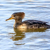 Female Hooded Merganser 3