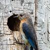 Bluebird female 4