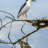 Black Crowned Night Heron (2)