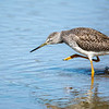 Greater Yellowlegs 4