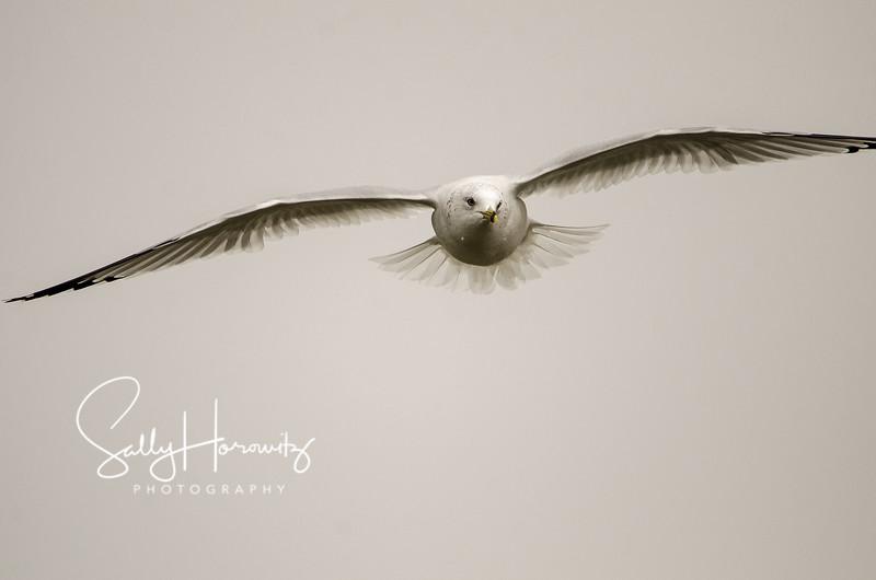 RIng-billed gull 1