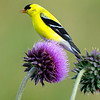 American goldfinch 4