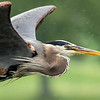 Great blue heron 11