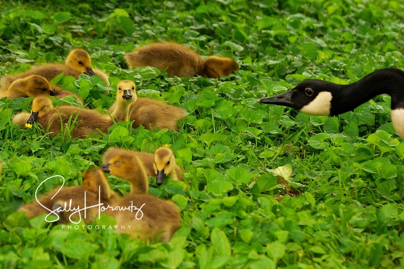 Goslings and Mom