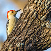 Red bellied woodpecker 7