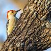Red bellied woodpecker 7