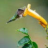Ruby-throated Hummingbird 24