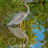 Great Blue Heron 8