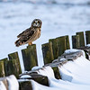 Short eared owl  5
