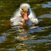Pekin duckling 3