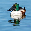 Northern Shoveler male 5