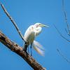 Great white egret 6