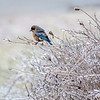 Bluebird female 9
